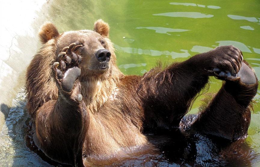 Видеофакт: медведь пришёл в отель в Болгарии, чтобы искупаться в бассейне