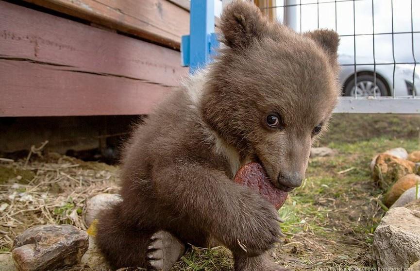 Как живет медведь Мансур, которого вырастили летчики (ФОТО и ВИДЕО)