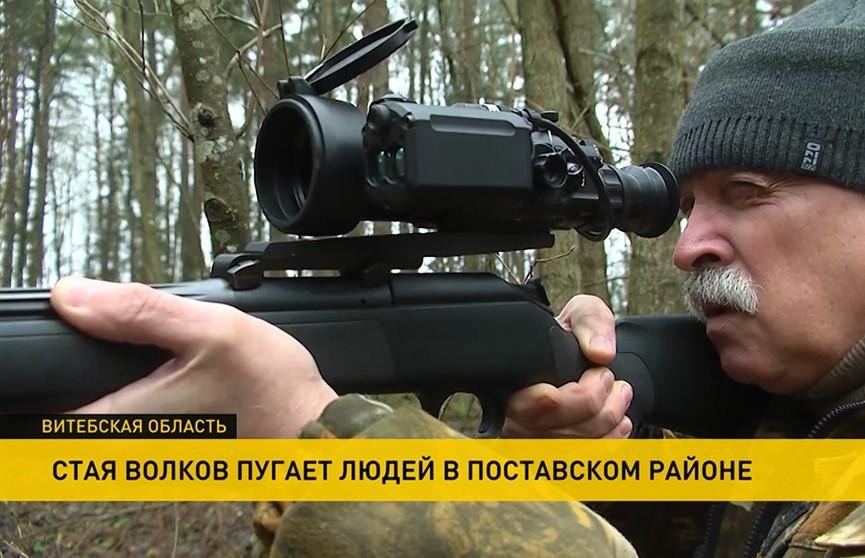 Стая волков запугала жителей Поставского района. Охотники никак не могут выйти на след хищников