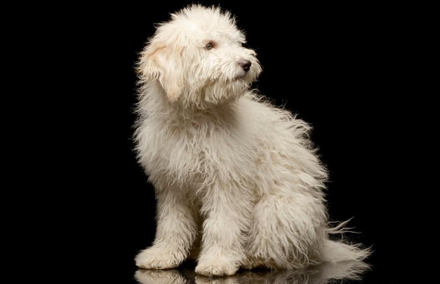 Овцы не слушались собаку, потому что она на них слишком похожа! Посмотрите, это действительно так! (ФОТО)