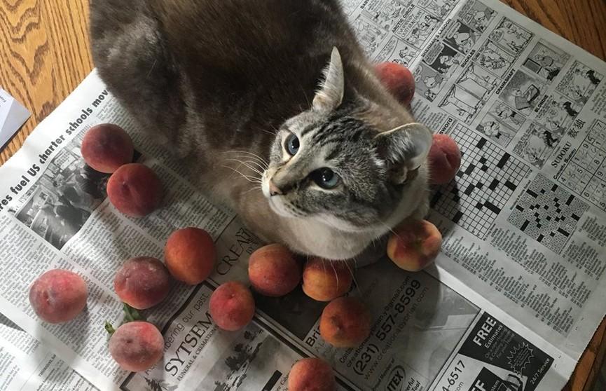 Кот и персики. Почему пушистый так любит проводить время с фруктами?
