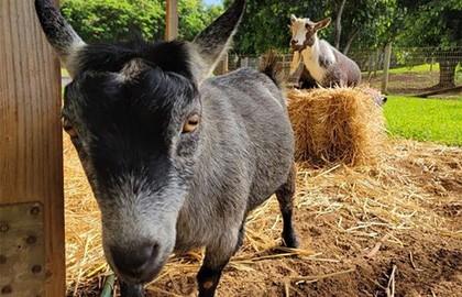 Марк Цукерберг опубликовал фотографию с козами. Комментаторы считают, что так он поддержал биткоин