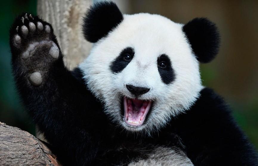 Панда показала, как можно использовать автомобильные шины не по назначению (ВИДЕО)