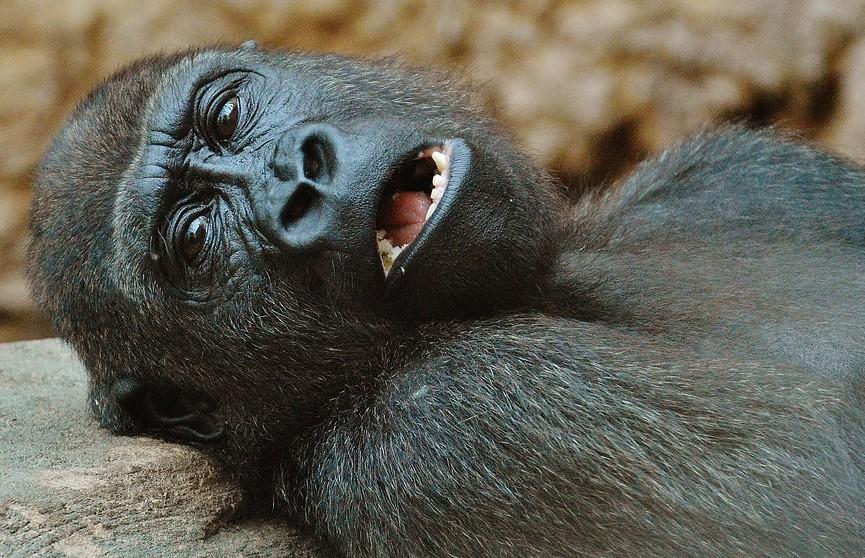 Больше десяти горилл заразились коронавирусом в американском зоопарке