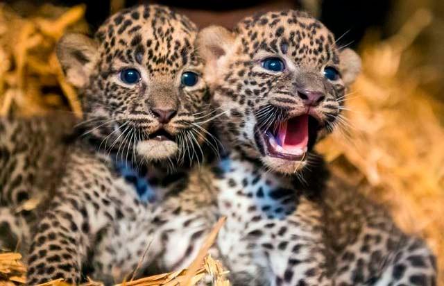 Видео о том, как мама-леопард переводила детёнышей через дорогу, показало всю тяжесть материнства