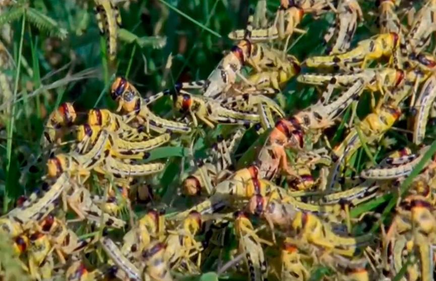 Индия переживает нашествие саранчи – видео