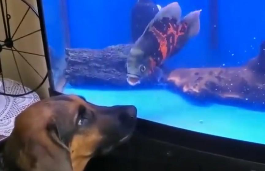 Собака и аквариумная рыбка попытались атаковать друг друга – очень смешное видео