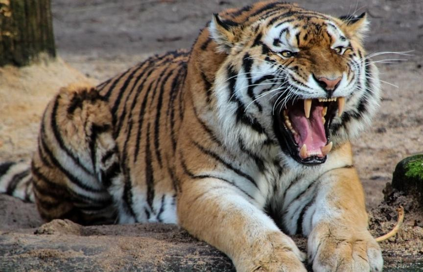 Битва двух тигров была снята на видео в Индии