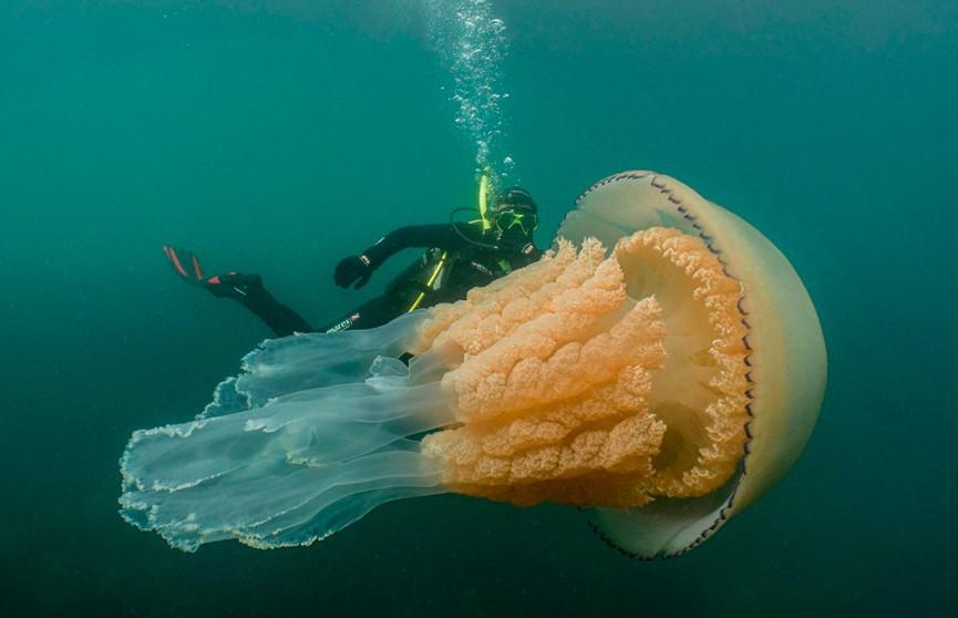 Медузу размером с человека нашли у берегов Великобритании (ФОТО и ВИДЕО)