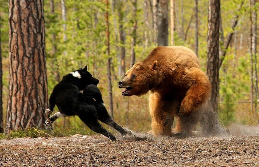 Собака спасла хозяйку от чёрного медведя в Канаде