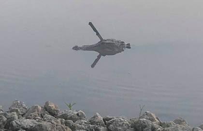 Аллигатор с ножом в голове плавал по озеру в Техасе
