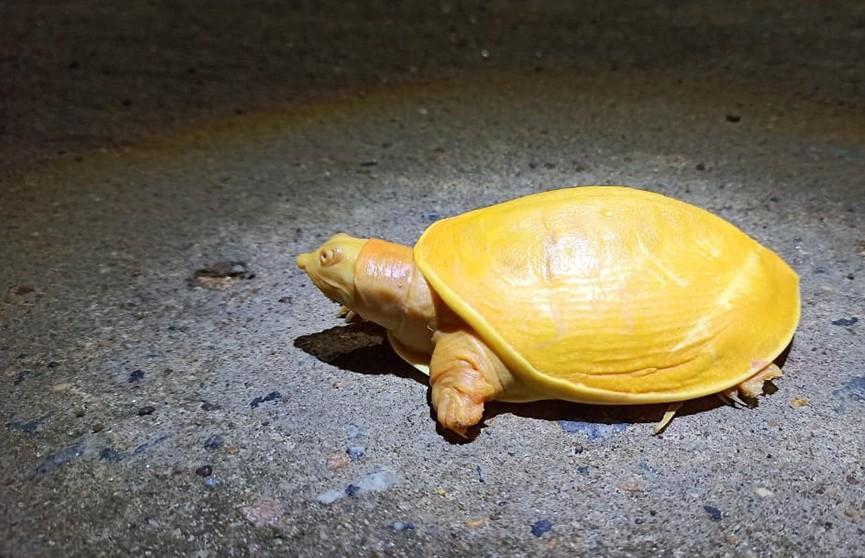 В индийской деревне Суджанпур жители обнаружили редкую черепаху ярко желтого цвета.