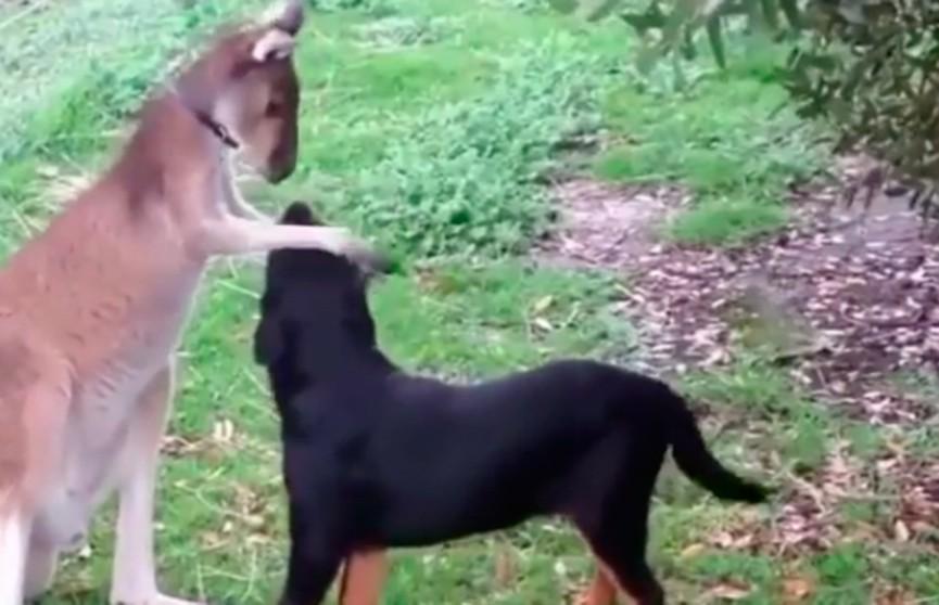 Дружба кенгурёнка и щенка покорила Интернет