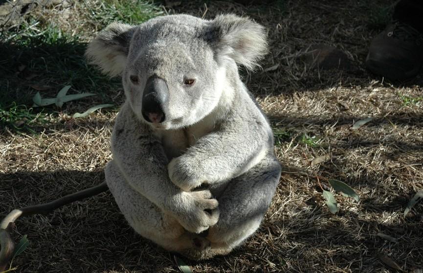 Трогательное видео: осиротевший детёныш коалы принял плюшевого медведя за свою маму