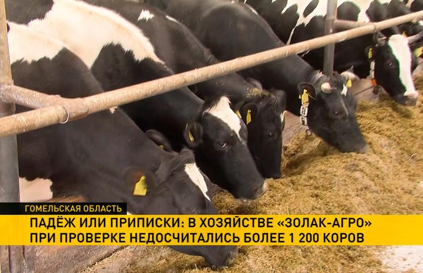 Падёж или приписки: более 1200 коров не досчитались в хозяйстве «Золак-Агро»