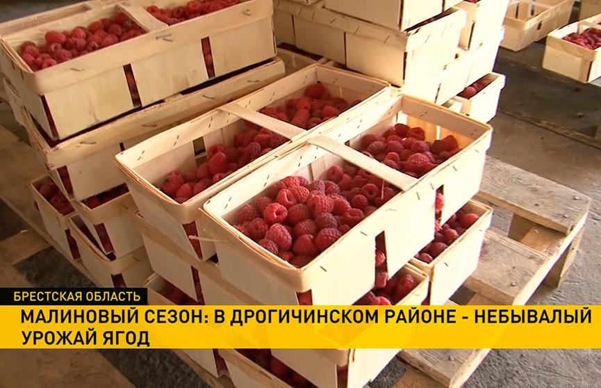 Ягодный рай! Небывалый урожай малины ожидают в Дрогичинском районе