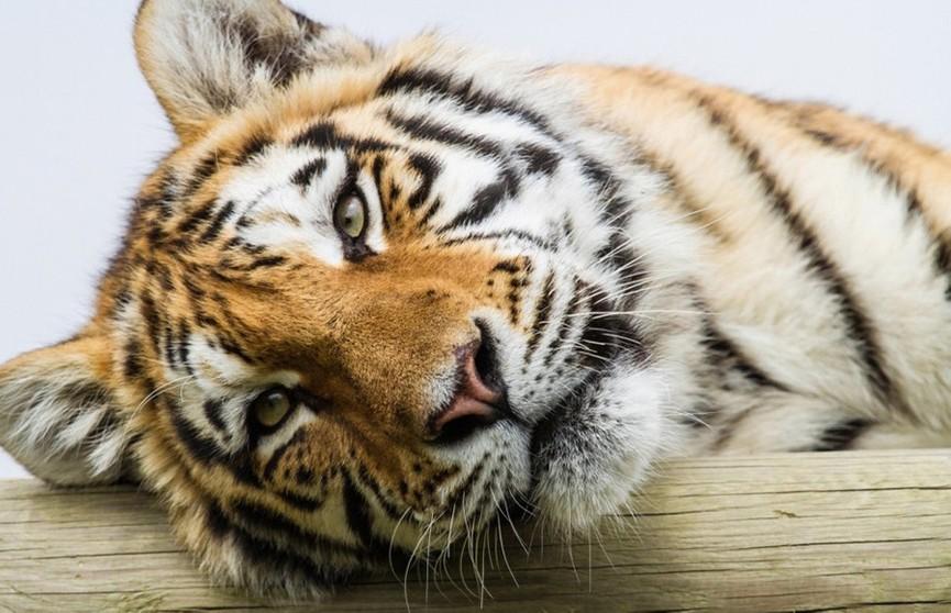 Лучшей фотографией дикой природы стал снимок амурского тигра из Приморья