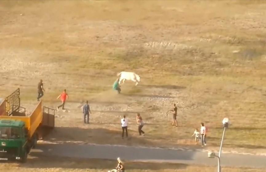 Крутая тёлка. Чем закончился дерзкий побег породистой коровы? (ВИДЕО)