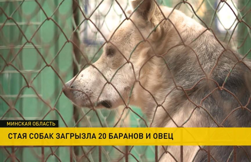 Одичавшие псы убивают и калечат овец в Слуцком районе. Люди опасаются и за свою безопасность