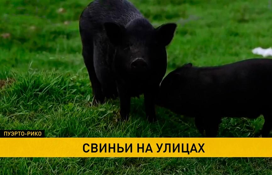 Вьетнамские свинки заполонили улицы Пуэрто-Рико