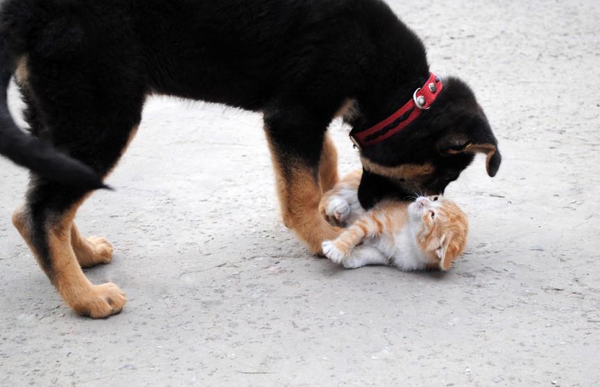 Кошку с котятами охраняют овчарки. Только посмотрите, как чутко собаки заботятся о малышах – невероятно! (ВИДЕО)