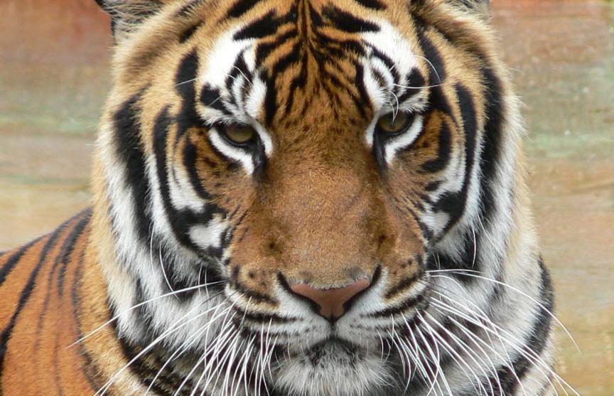 Бенгальские тигры решили поиграть и изувечили вырастившую их смотрительницу