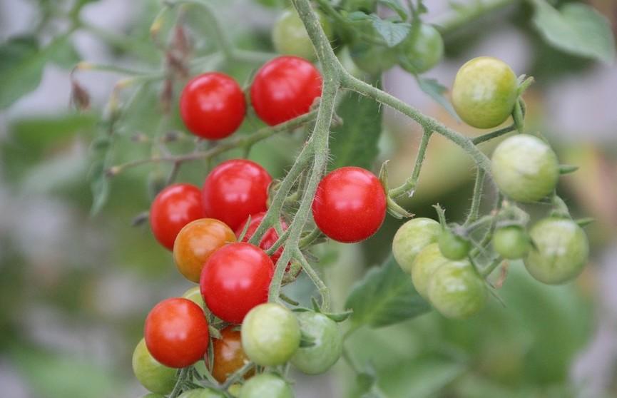 Если помидоры зеленые: как ускорить дозревание томатов? Эффективные способы