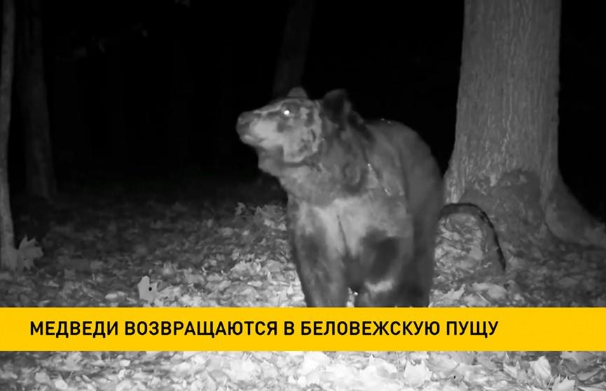 Медведи возвращаются в Беловежскую пущу