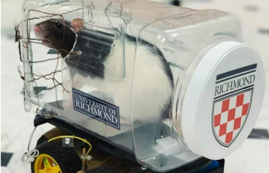 Ученых восхитил интеллект крыс: их научили водить машинки