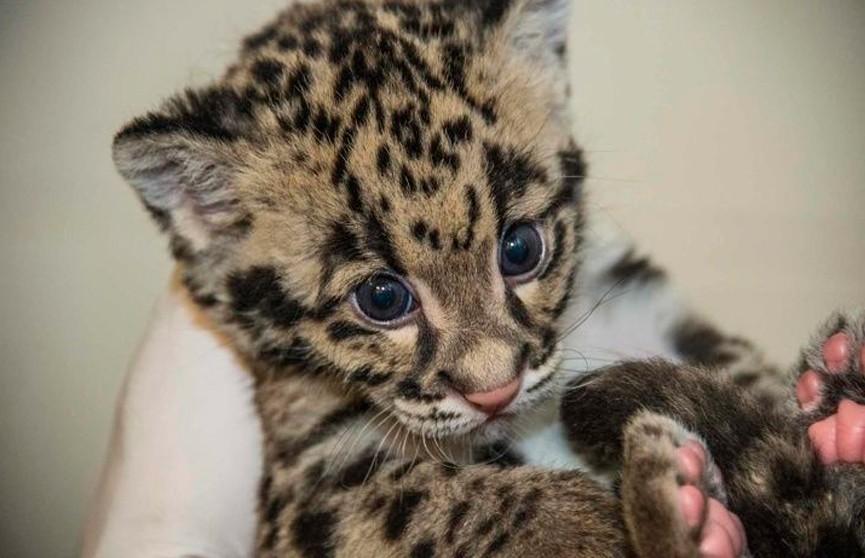 Котёнка леопарда нашли в сумке пассажира авиарейса в Индии