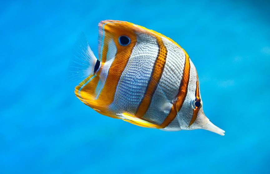Обнаружены рыбы, которые «задерживают дыхание» под водой