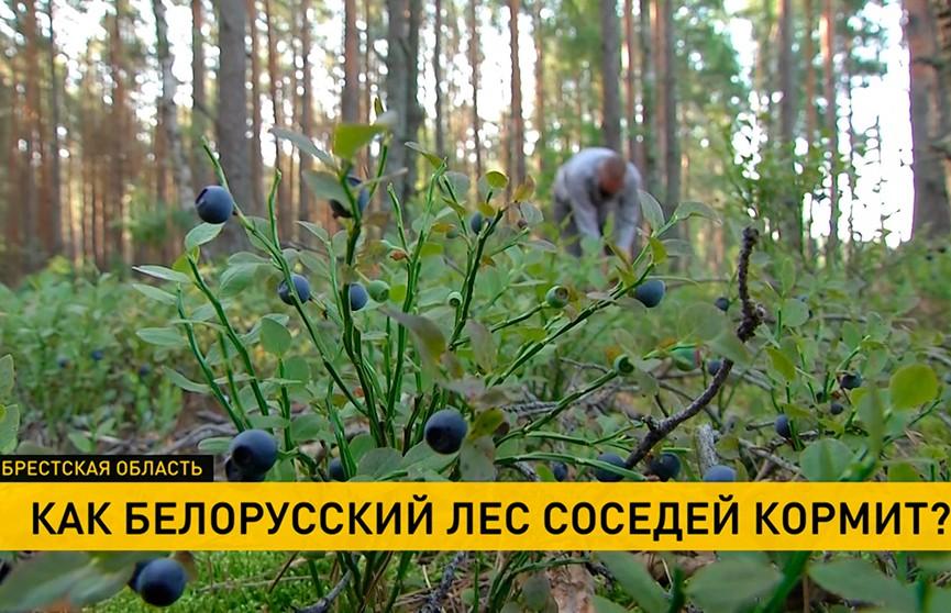 Сезон черники открывает границу украинцам, или Как белорусский лес соседей кормит