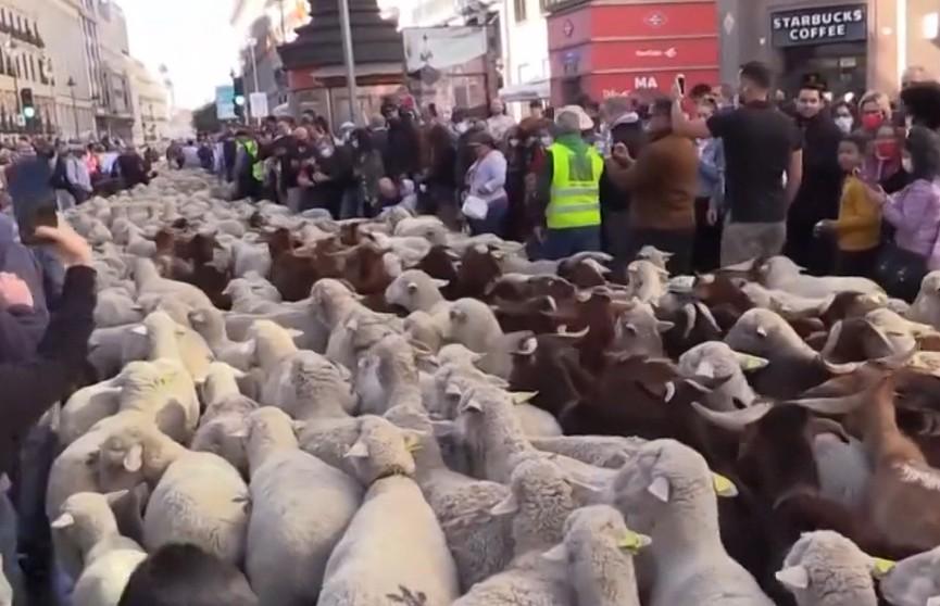 В Мадриде овцы заполонили улицы города. Узнайте почему (ВИДЕО)