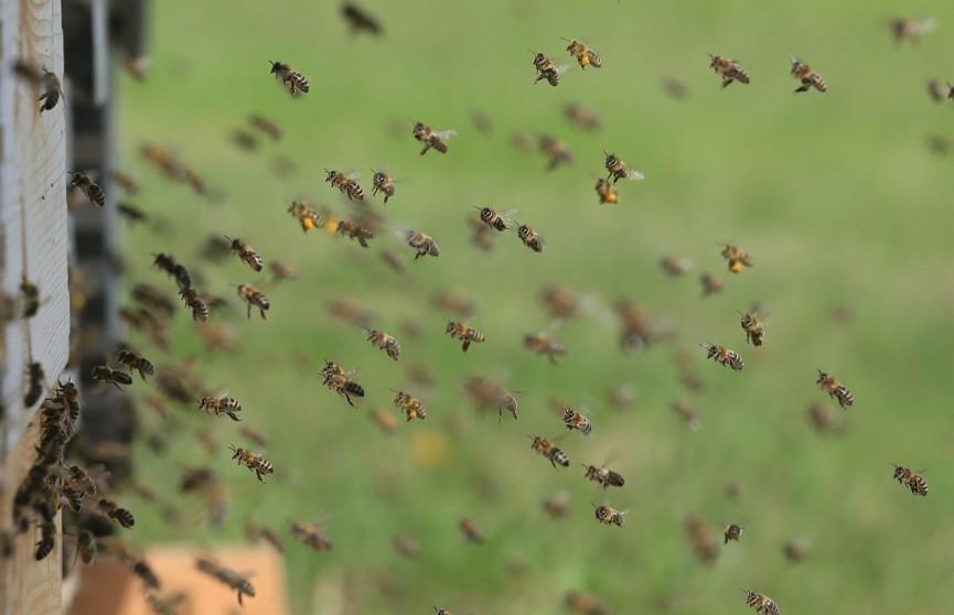 Пчелы атаковали футболистов во время матча в Боливии (ВИДЕО)