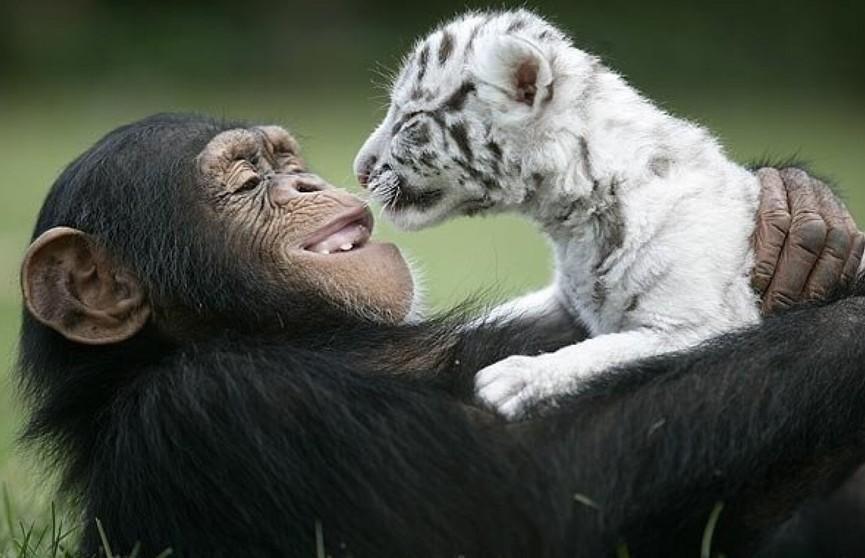 Слон и овечка, обезьянка и поросенок. Топ самых необычных парочек животного мира