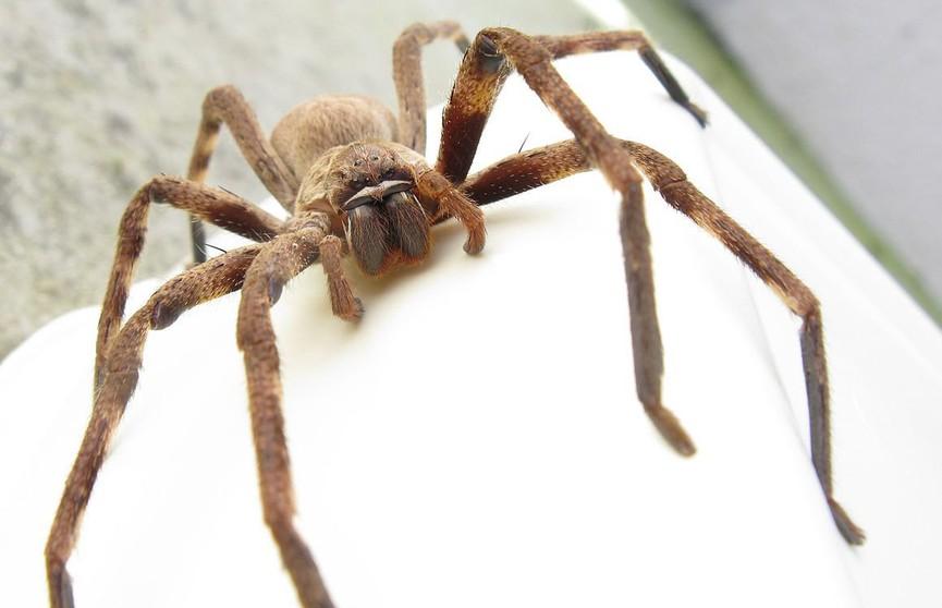 Довёл до истерики: гигантский паук заполз в комнату к женщине
