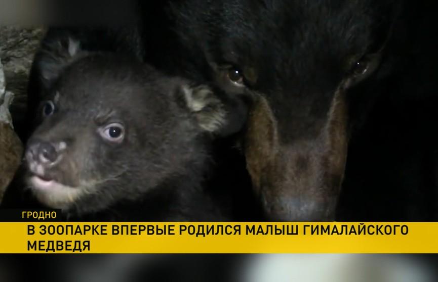 Новорождённого гималайского медвежонка показали в гродненском зоопарке, медведица долгое время прятала его