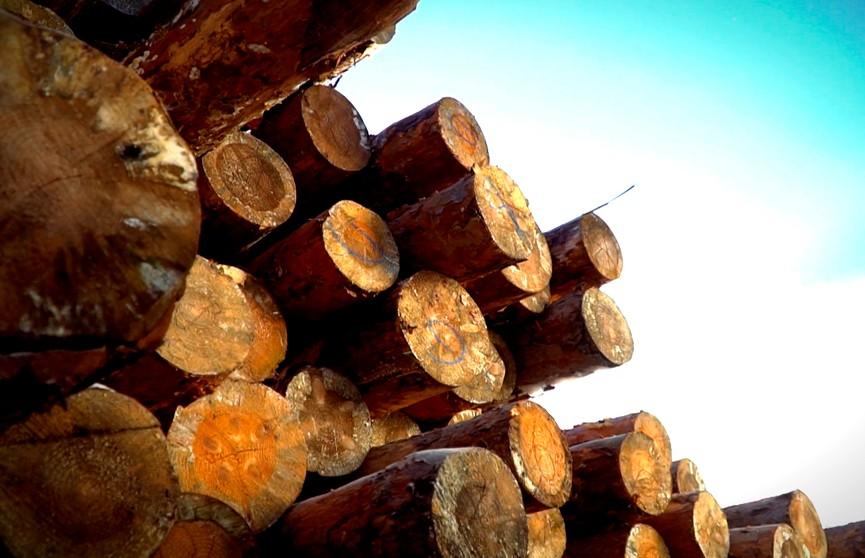 Главный ресурс белорусов и выгода, которую из него можно извлекать: о роли леса в нашей стране