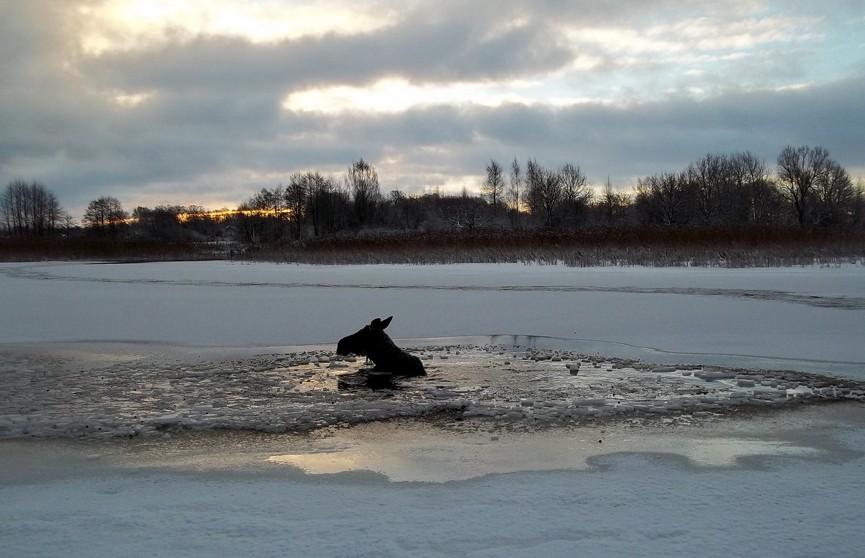 Полоцкие спасатели вытащили беременную лосиху, провалившуюся под лёд