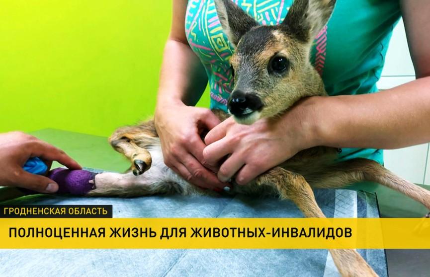 В Лиде ветеринары устанавливают животным-инвалидам бионические протезы, которые полноценно заменяют лапы