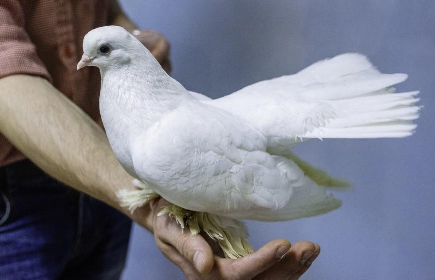 Почтового голубя продали за рекордные 1,25 миллиона евро