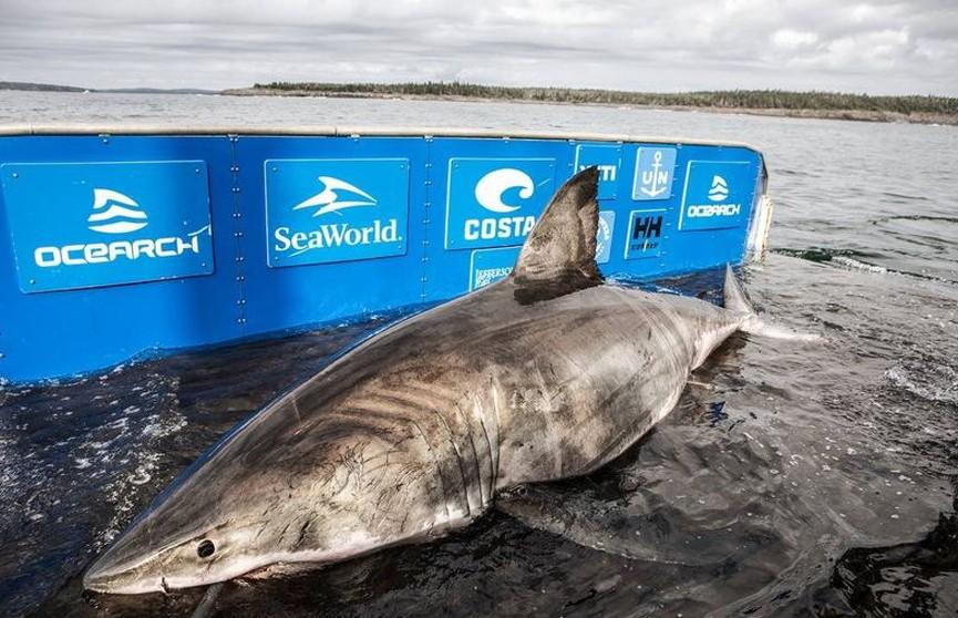 У берегов Канады поймали гигантскую акулу весом в полторы тонны