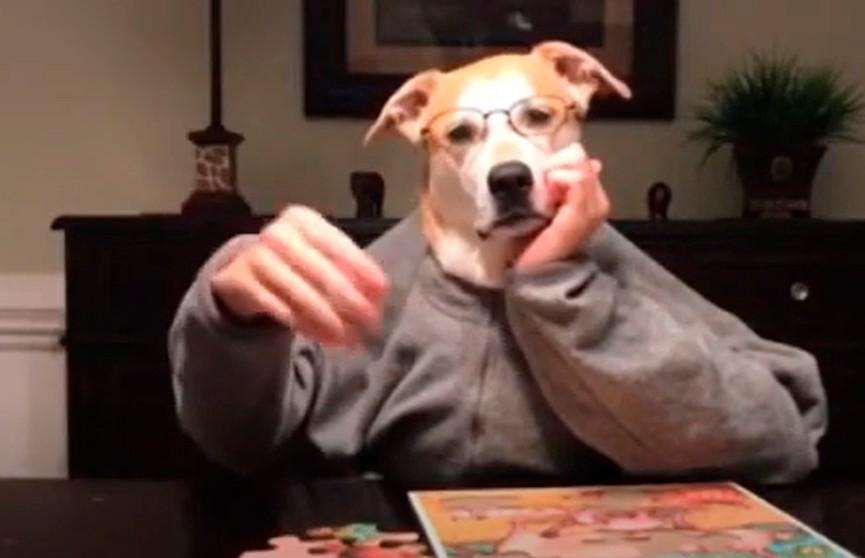 Владельцы собак создают смешные видео «человеческих домашних занятий» своих питомцев на карантине