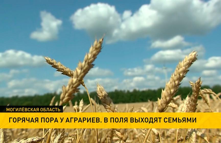 Урожай-2021: хлеборобы Беларуси уже убрали 25% полей