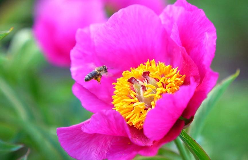 Чем подкормить пионы, чтобы они долго радовали цветением? Советы специалиста