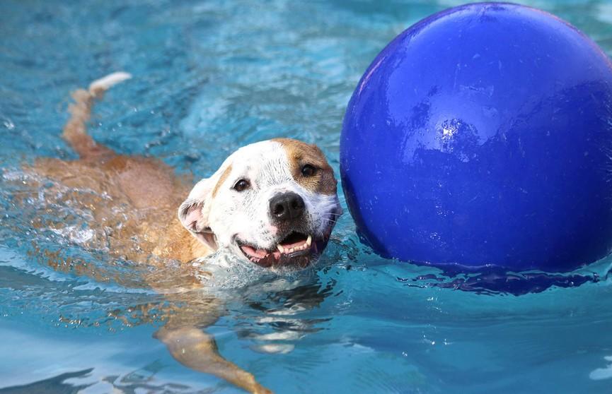Собака, ныряющая «бомбочкой» в бассейн, стала звездой Сети (ВИДЕО)