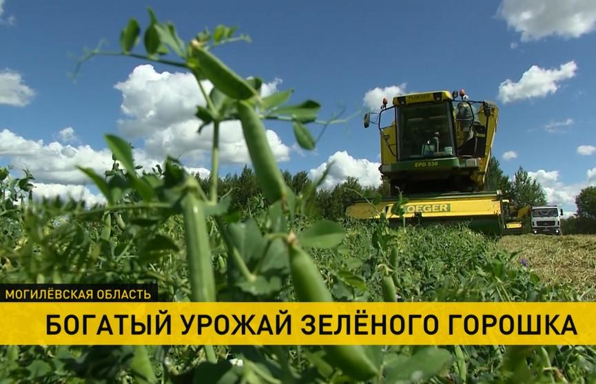 В Быховском районе устанавливают мировые рекорды по заготовлению зеленого горошка. В чем секрет?