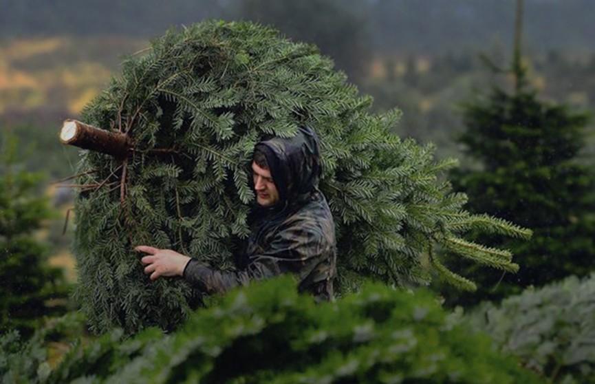 Ель по цене леса. За незаконную вырубку ёлок грозит внушительный штраф