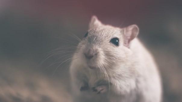 Крыса, напугавшая кота, попала на видео и рассмешила Сеть