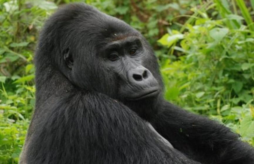 Убийство редкой гориллы посчитали заслуживающим пожизненного срока преступлением